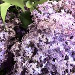 All the pretty lilacs